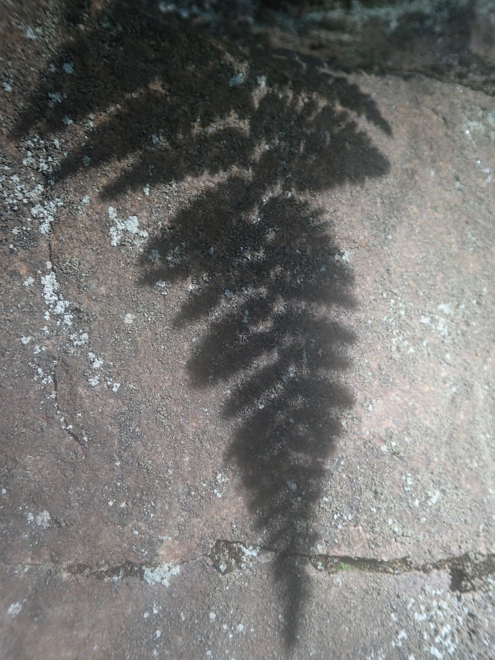 fern shadow