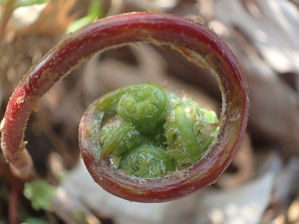 Fractal Fiddlehead