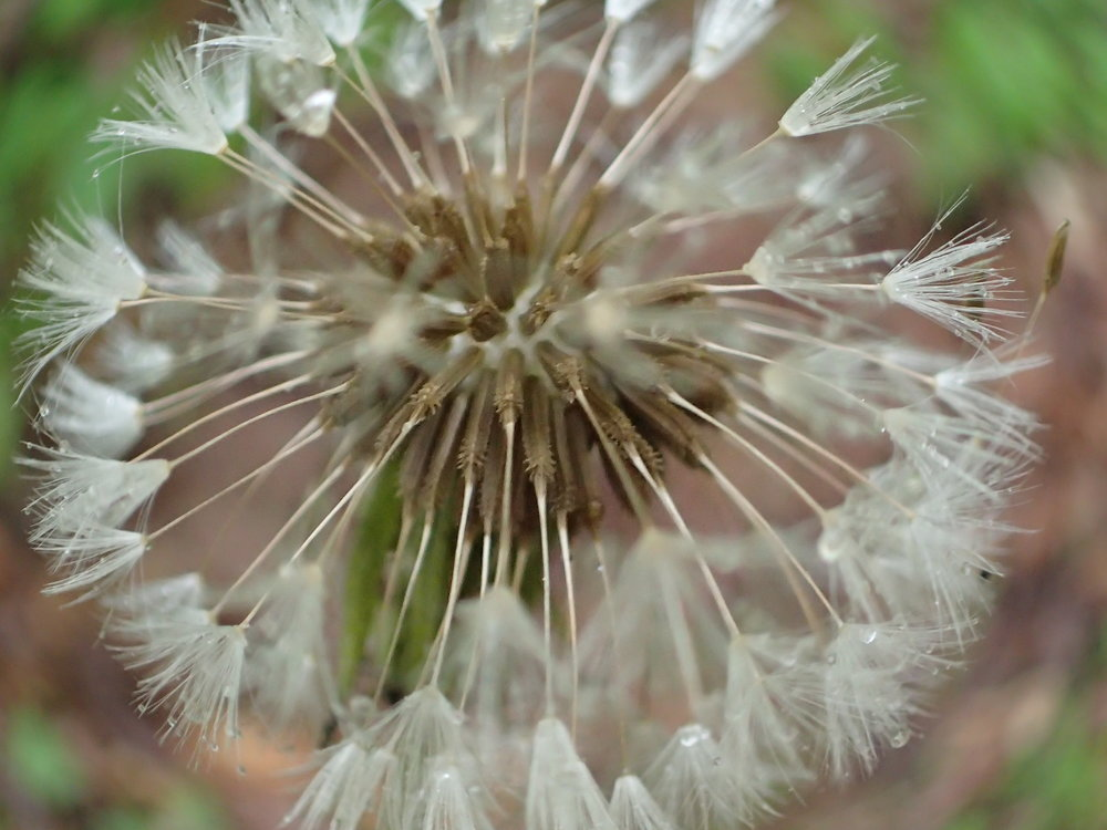 Dandelion seeds ready to fly