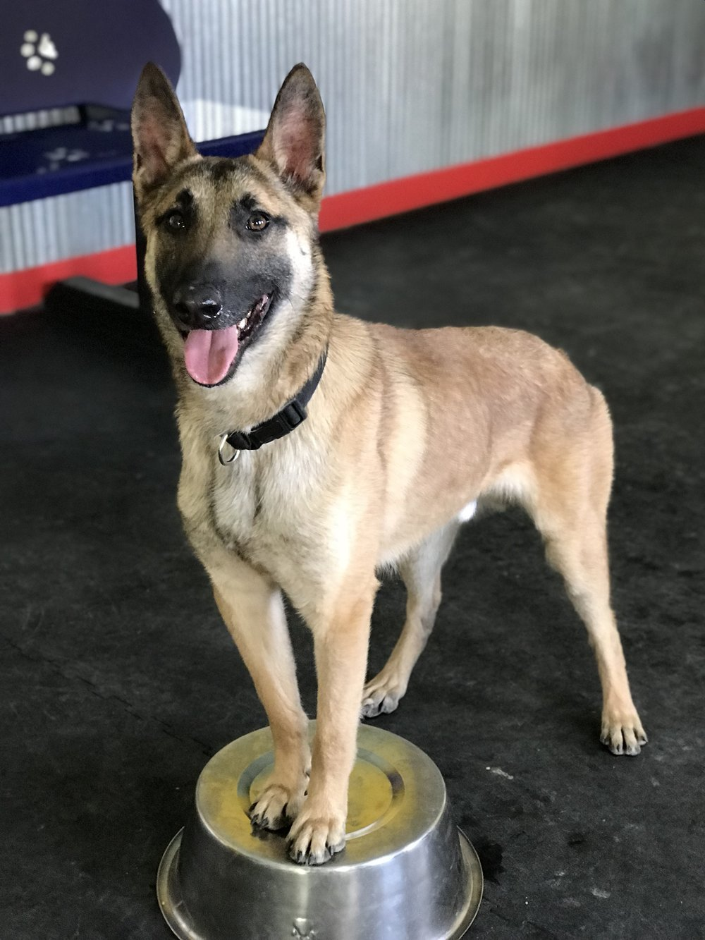 Crypto (Sold) - Crypto is a 1.5 year old Belgian Malinois. He is trained in narcotics detection. Crypto is an intact male with high ball and hunt drive. Give us a call today to come check out this beautiful boy! Price: $5,000
