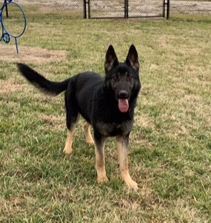Rayna - Rayna is an intact female German Shepherd. She is being trained in narcotic detection. She is a prospect for dual purpose work as well. Rayna has been imprinted on Methamphetamine, Heroin, Cocaine and Ecstasy. Call us today to inquire about this spunky little girl!!