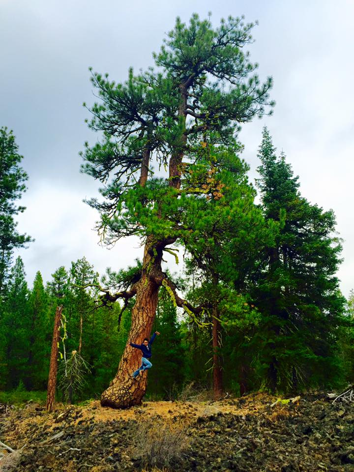 Ponderosa growing out of the Big Obsidian Flow