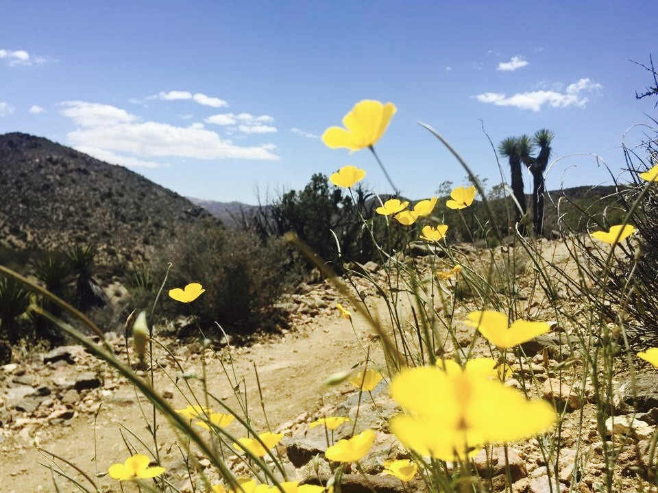 Wildflowers - Joshua Tree National Park