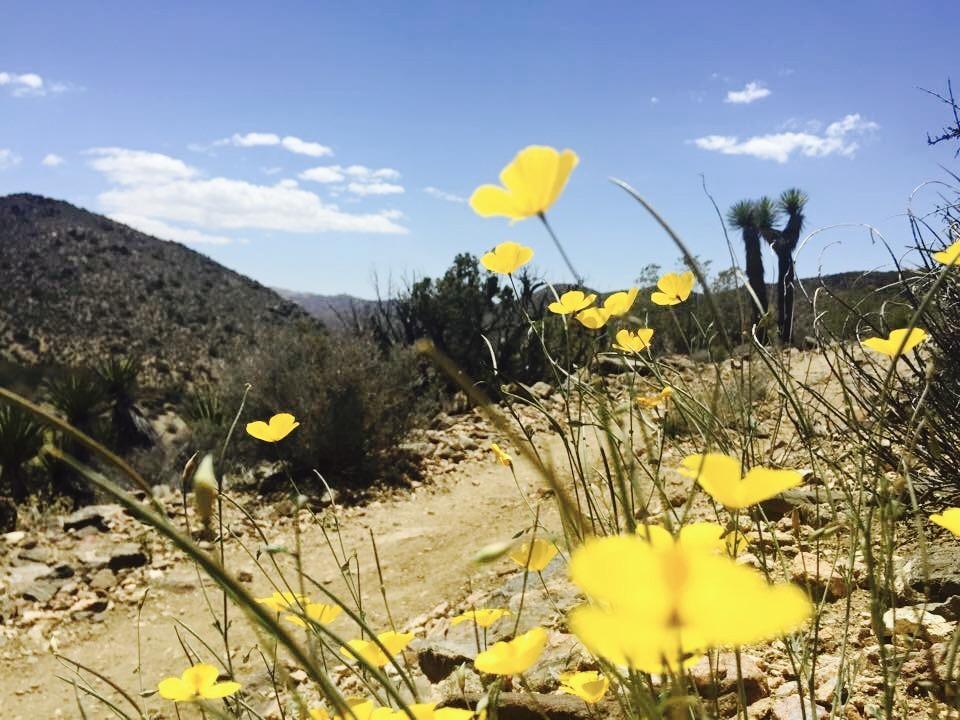 Wildflowers - Joshua Tree National Park