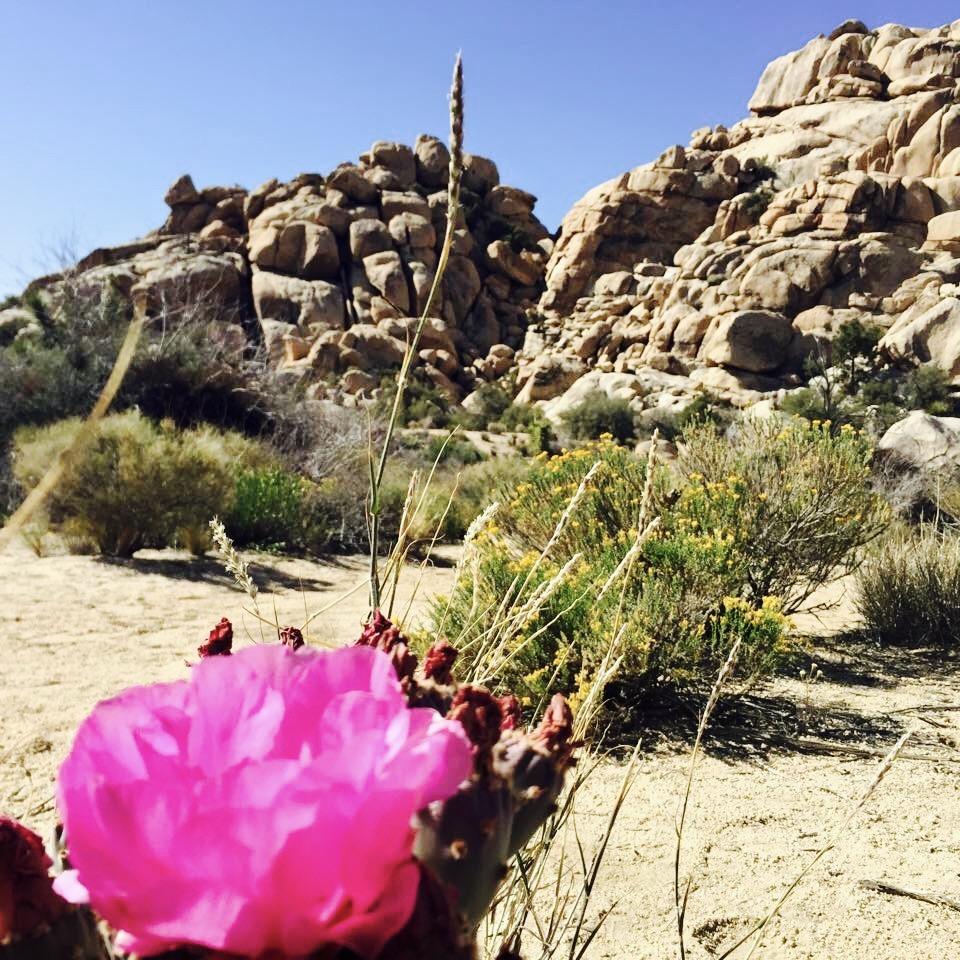 Cactus Flowers - Joshua Tree National Park