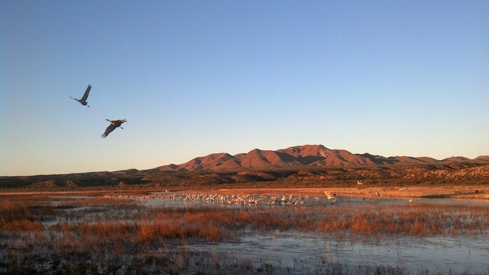 Sand Hill Cranes taking off during sunrise at Bosque Del Apache
