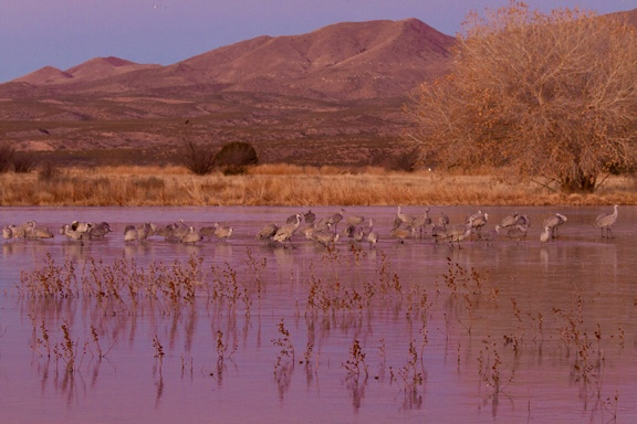 Sand Hill Cranes coming in for a landing at sunset