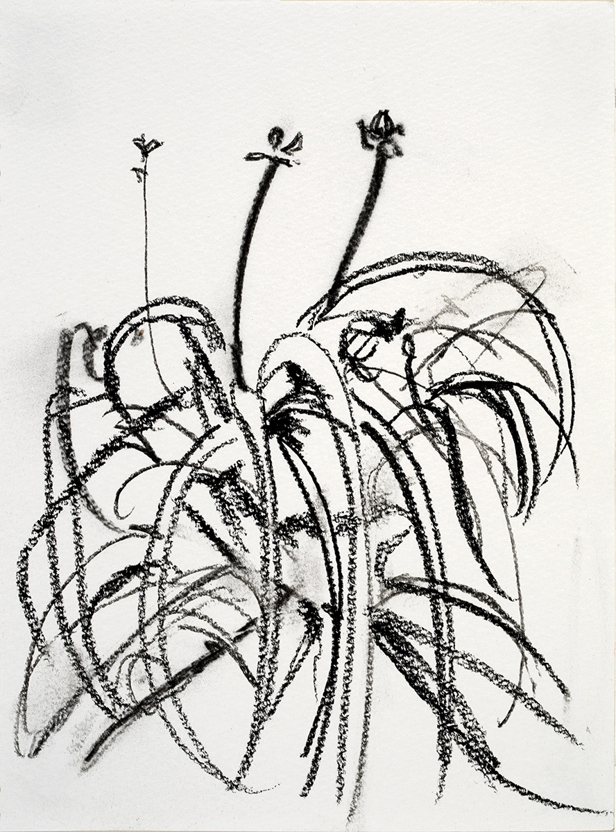 Lilies  2018 charcoal on paper 5.5 x 7.5 in.