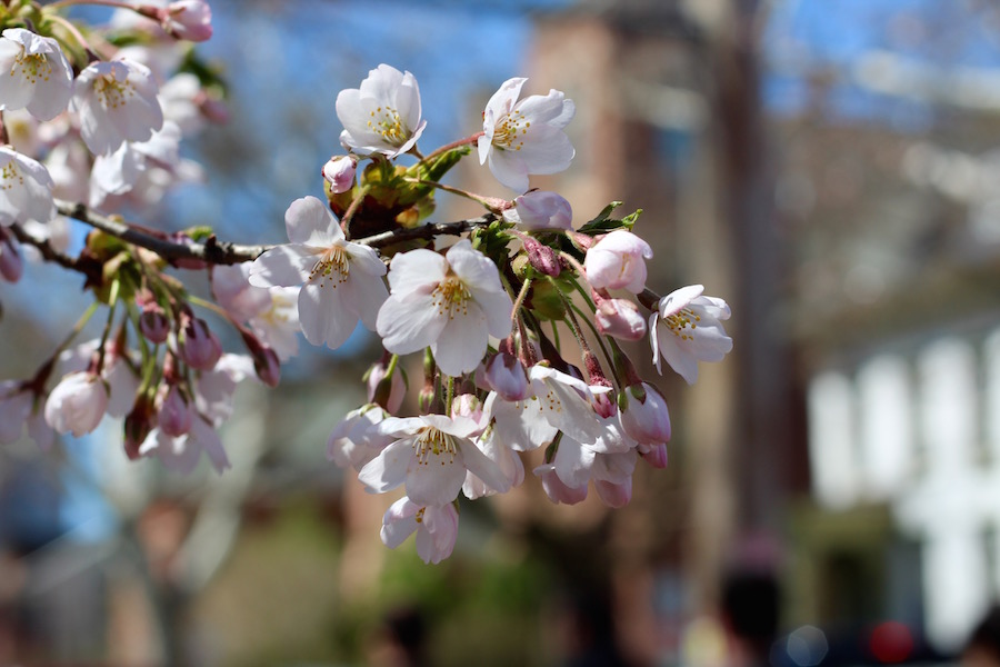 Few blossoms showed up in time for Sunday's festival, but that didn't seem to matter to attendees. When families spotted this one, on the side of the park by Green Street, a queue formed for family photos and blossom selfies. Lucy Gellman Photos.