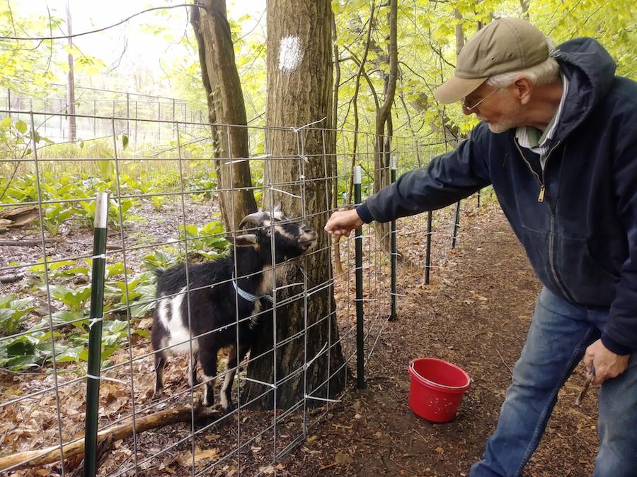 From goat cheese to goatscaping: Larry Cihanek tends to Cassonova in Edgewood Park on Saturday. Adia Sakura-Lemessy Photo.