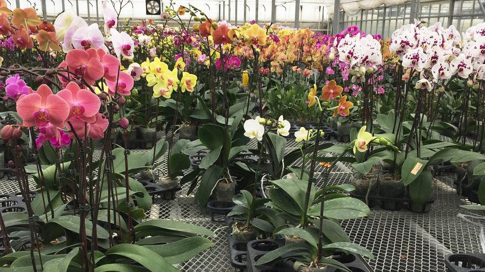 sammy orchids 1.jpg