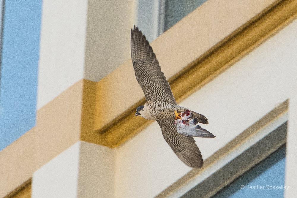 6-4-17---harriet-takes-pigeon-to-chicks_34353532323_o.jpg