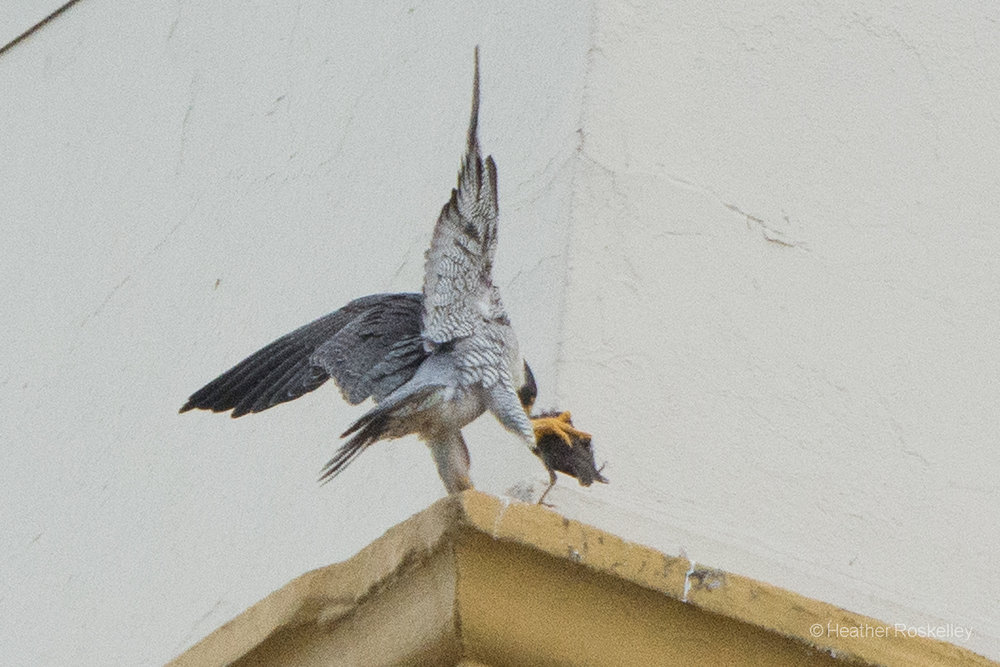 6-4-17---harriet-starts-to-eat-small-bird-removed-from-nest_34353523883_o.jpg