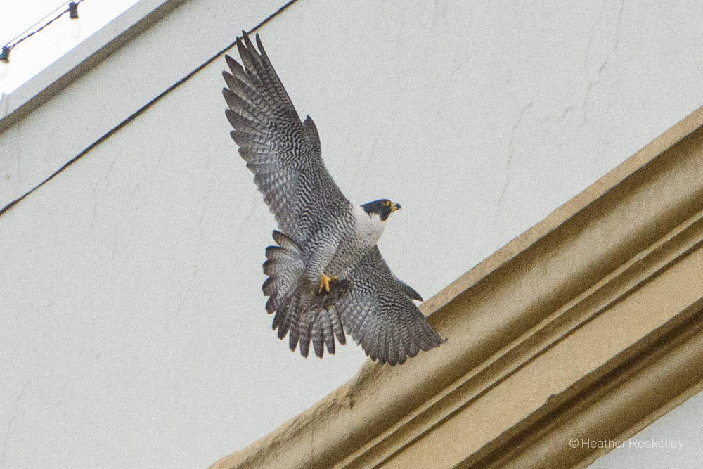 6-4-17---harriet-takes-small-bird-to-higher-ledge_34776783330_o.jpg