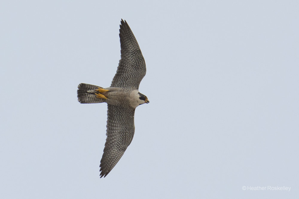 5-31-17---heather-roskelley-went-back-out-on-may-31st-and-had-a-good-time-with-the-falcons_34214693434_o.jpg