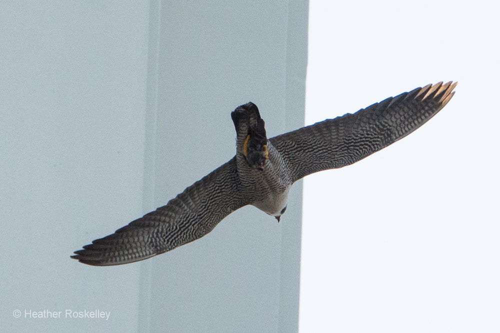 5-29-17---prey---another-view--by-heather-roskelley--what-is-it_34214686974_o.jpg