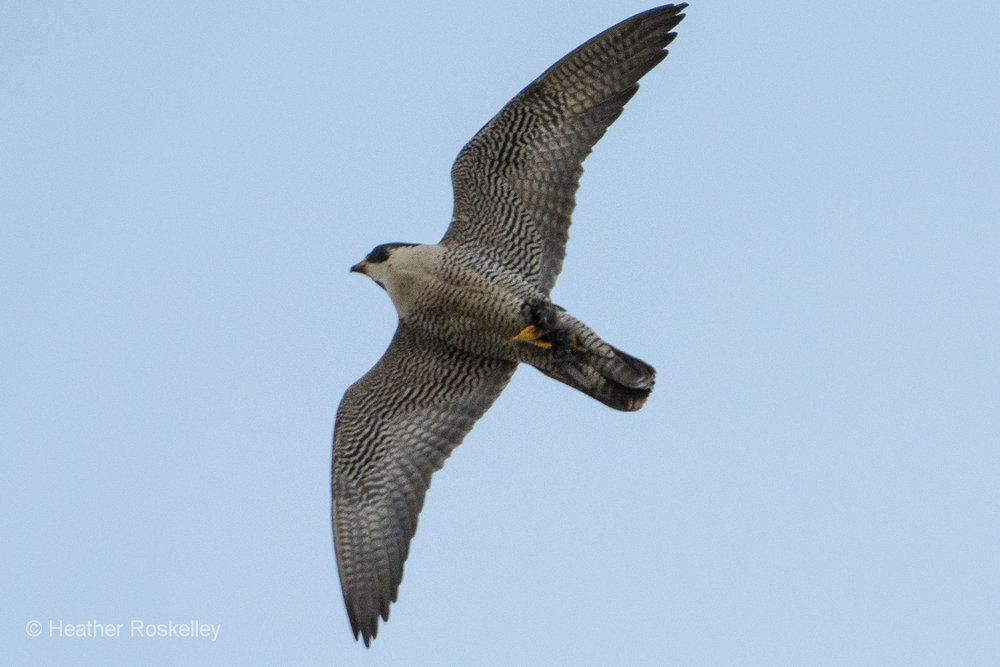 5-29-17---prey-in-talons--by-heather-roskelley_34894238212_o.jpg