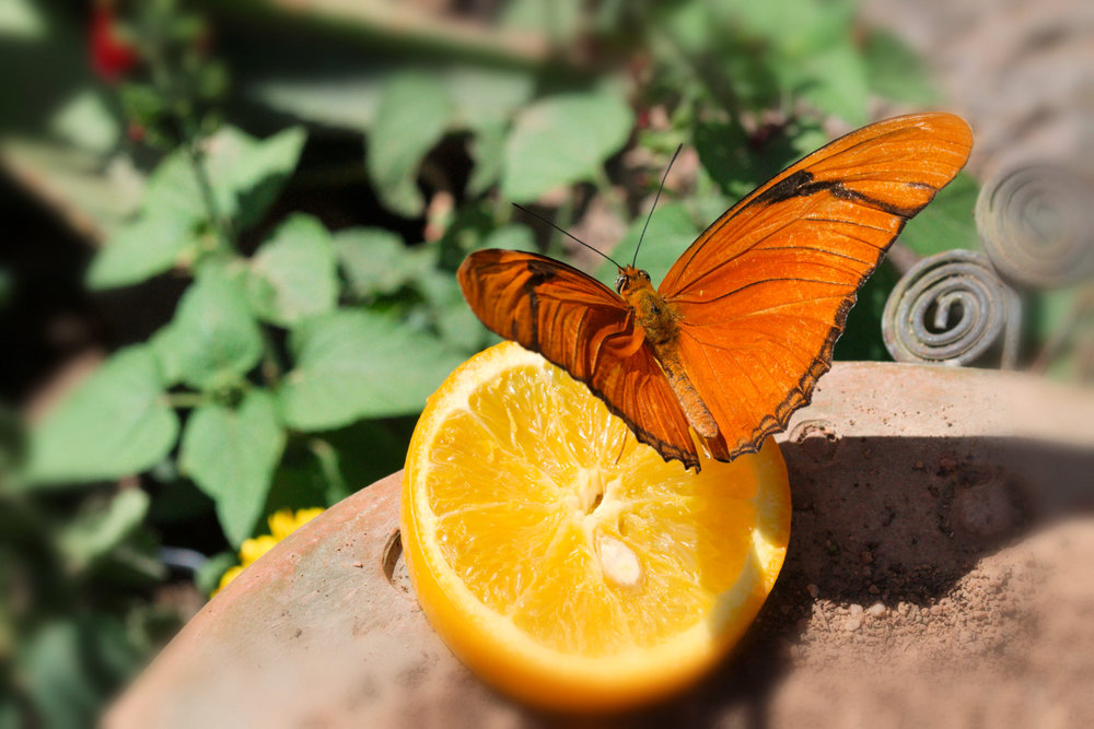 Butterfly on Lemon.jpg