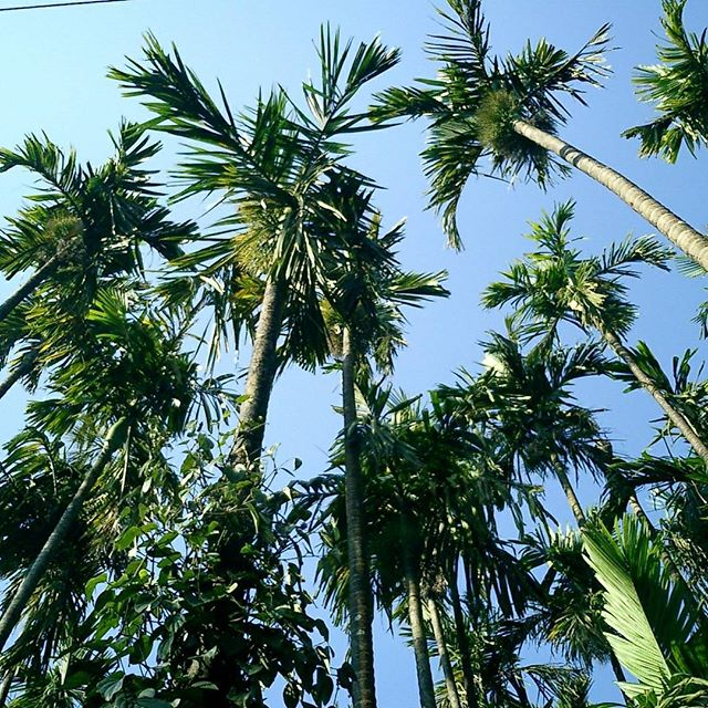Tall coconut #tree #nature #trees #naturephotography #treestagram #naturelovers #landscape #treescape  #naturelover #natureza #forest