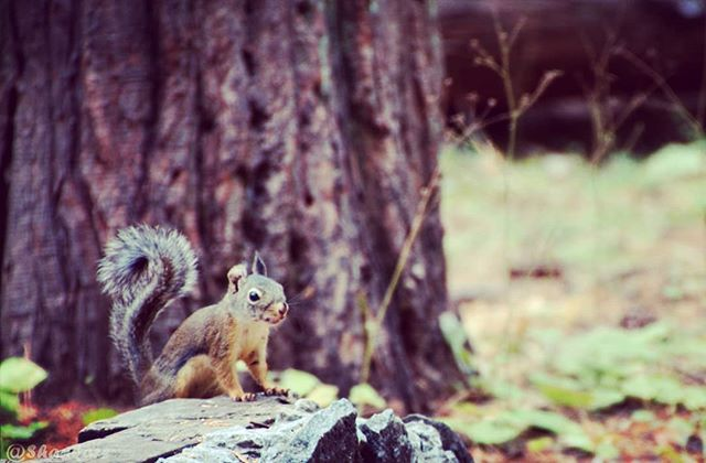 We have within us an extraordinary capacity of Love, Joy and Freedom - J Kornfield  https://www.shankarsphotography.com/blog/2018/12/12/acceptance-amp-happiness  #squirrel #naturephotography  #nature #calaveras