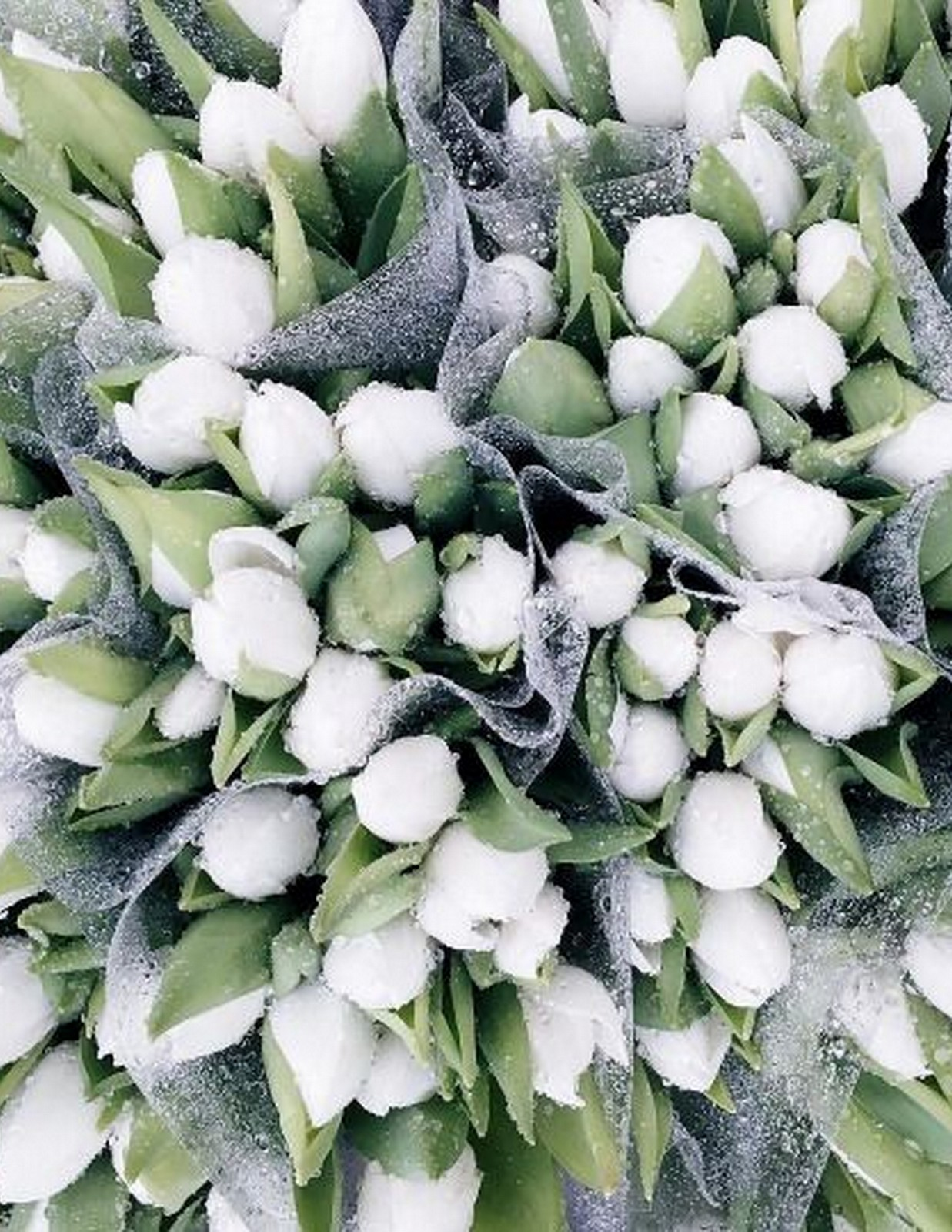 Winter white Tulips :: House of Valentina