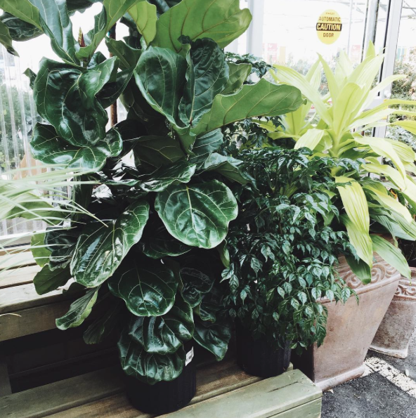 Fiddle Fig :: House of Valentina