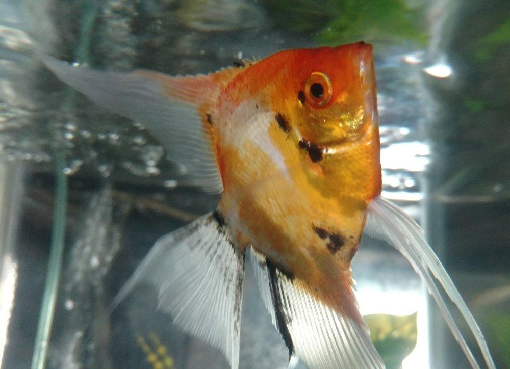 Freshwater fish -