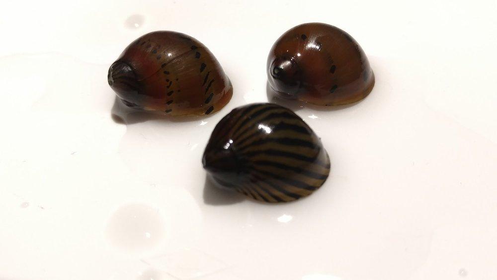 freshwater invertebrates -
