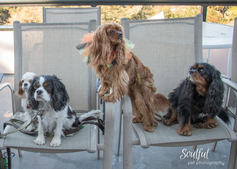 Cavalier King Charles Spaniels, lap dogs with sweet dispositions, come in four colors, from left to right: Blenheim (Chestnut and White), Tri-color, Ruby and Black & Tan.