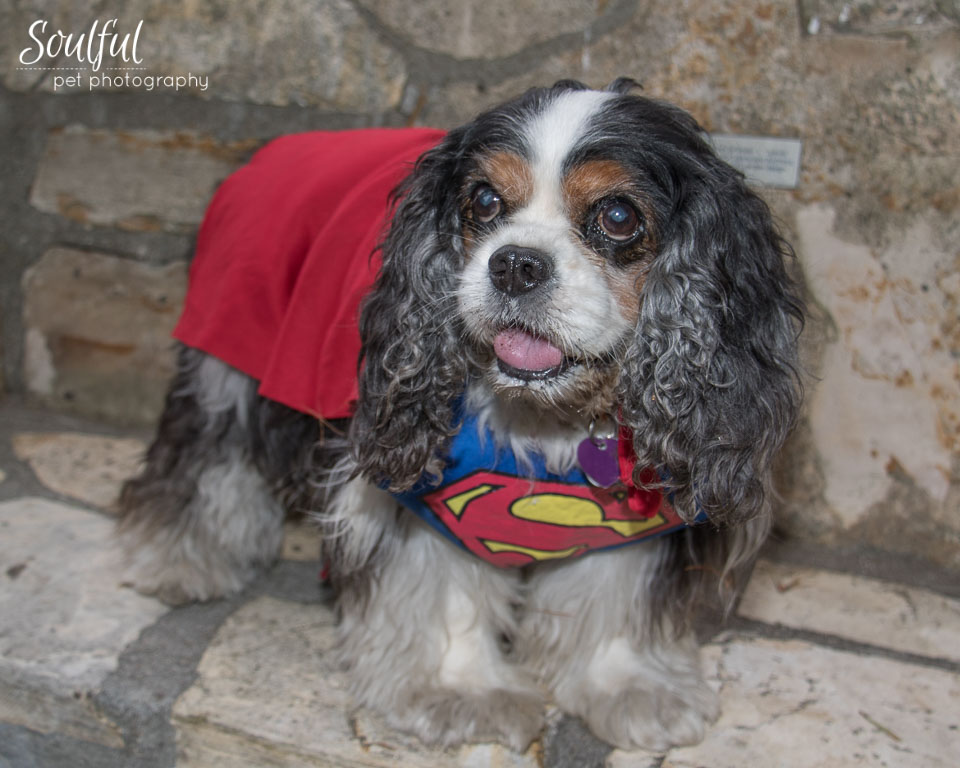 I got to meet Beckham, a 10-year-old tri-color Cavalier currently living with a foster family in San Diego and available for adoption. He was dressed as Superman for Halloween.