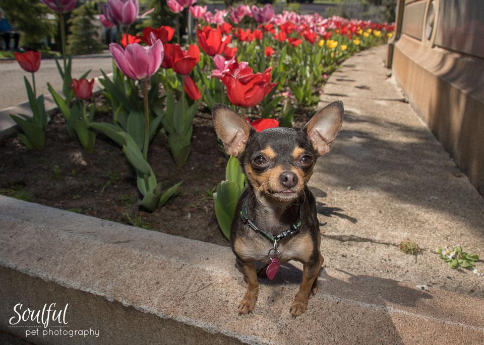 Chihuahua with Tulips.jpg