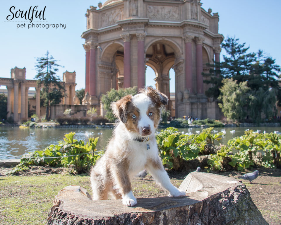 - Theodore, a miniature Australian Shepard, was only 8 pounds when we did the first session at the Palace of Fine Arts in San Francisco.