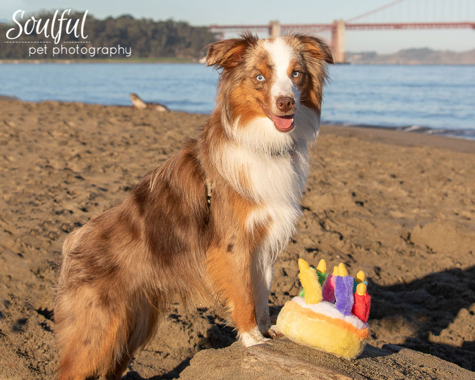 - Eight months later we did a session at Crissy Field beach in San Francisco. By then he had more than doubled to 20 pounds, his coat had filled out and his red Merle coloring had become much more pronounced!