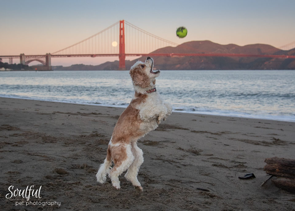 - Before the moon moved behind the bridge tower out of sight I got this action shot of Ginger jumping for the ball.