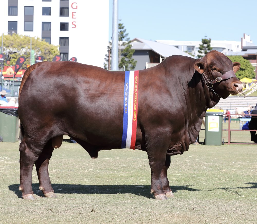 2018 Ekka Junior & Grand Champion Bull, Yarrawonga H Bomb N274 (P)