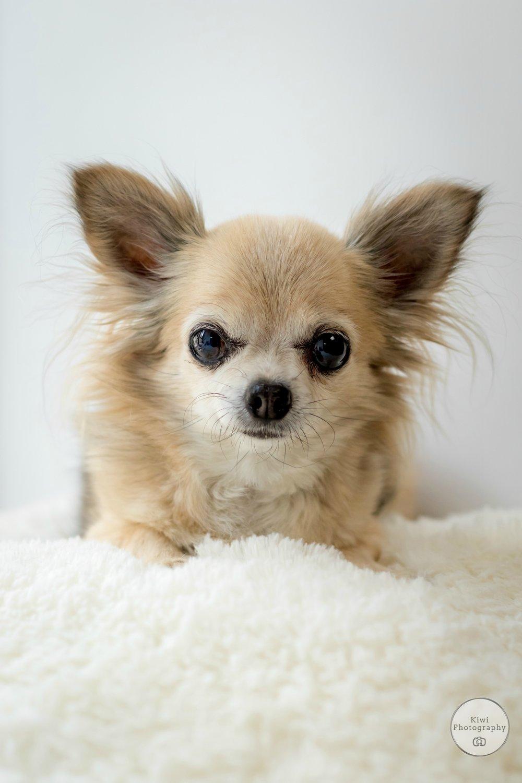 Long hair Chihuahua Dog Photography