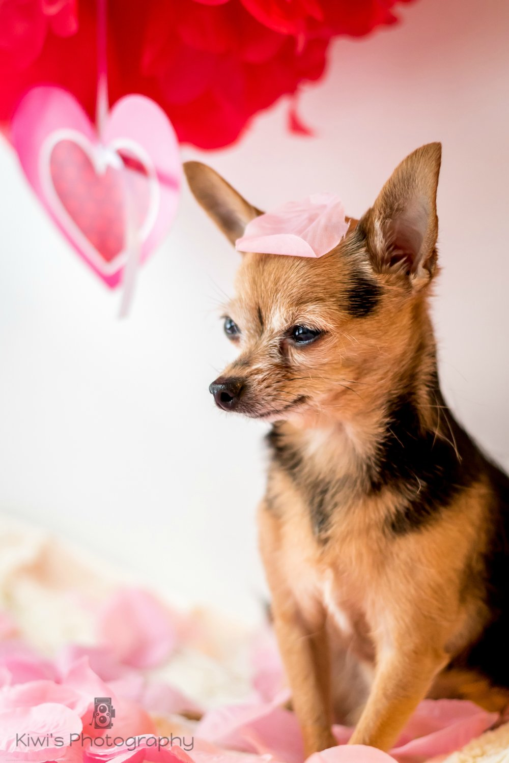 Benji the Chorkie - Valentine's Day with your Dog