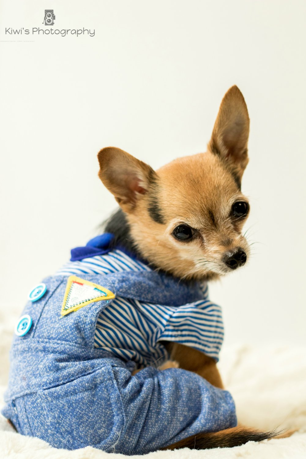 Benji the Chorkie, dog fashion from Chien Mondain, Quebec