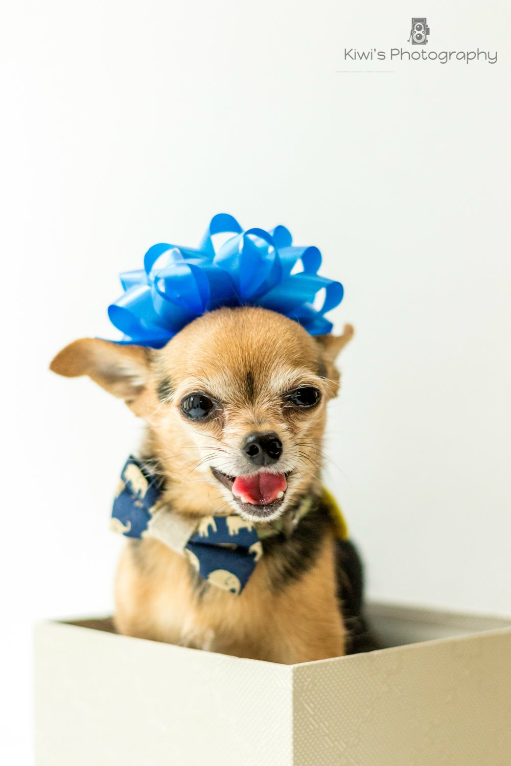 Benji the chorkie - A chihuahua can be a great pick for couch potatoes.