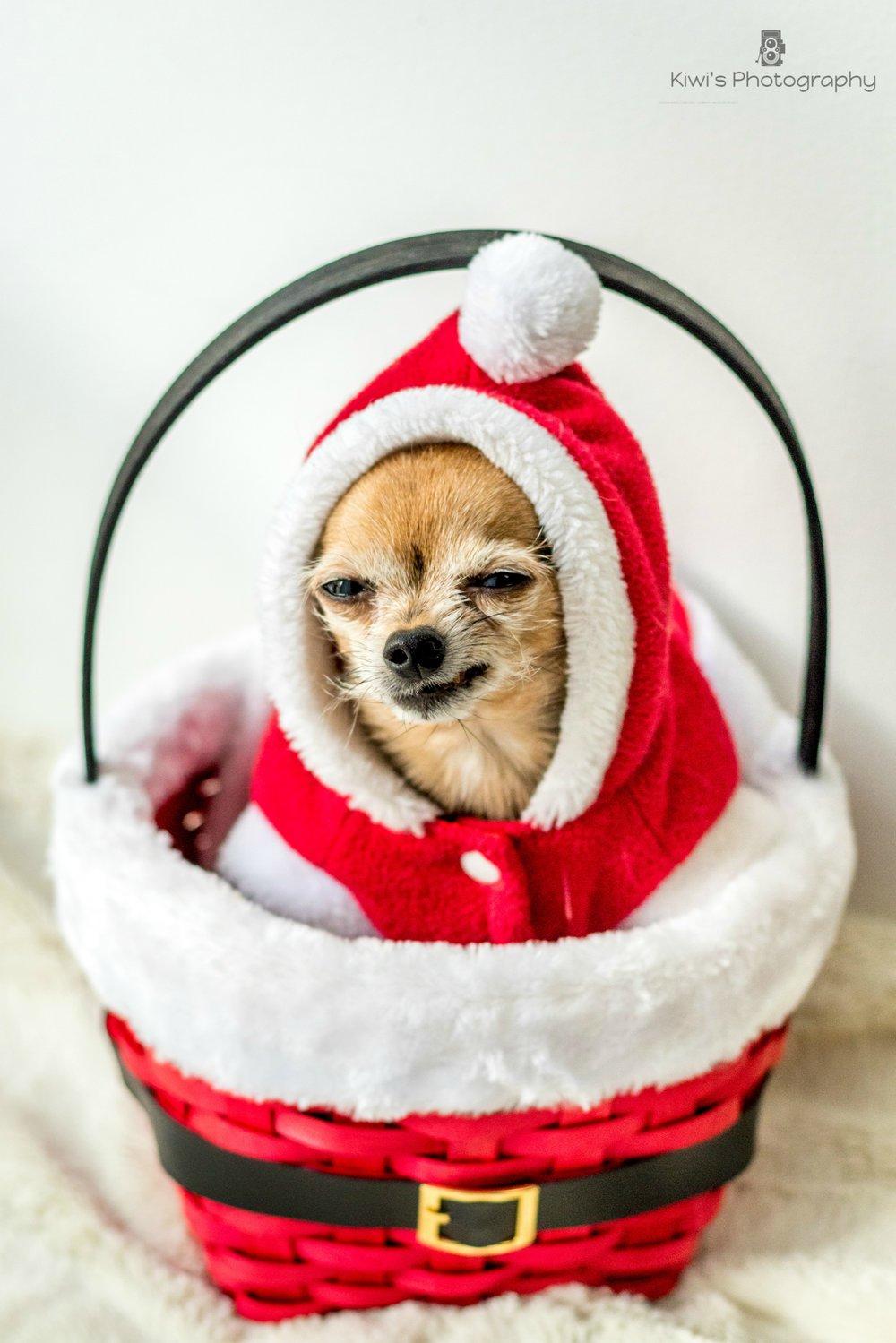 Christmas chorkie, smiling chihuahua, Ottawa dog