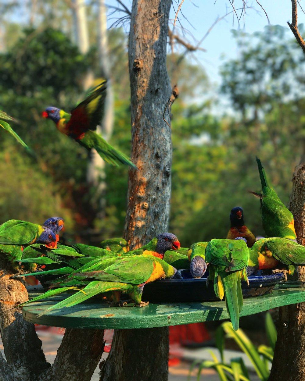 Some beautiful rainbow coloured wild birds at the Botanical Gardens.