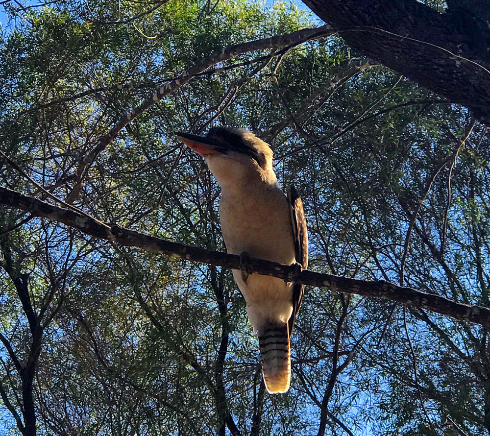A cheeky little kookaburra at our camp site.