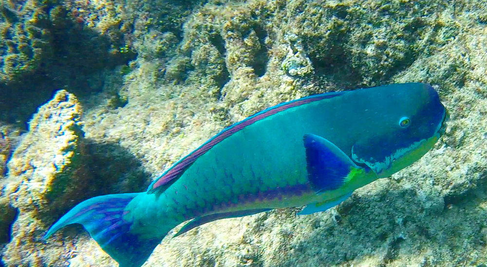 One of the many beautiful fish I saw when diving and snorkelling the Great Barrier Reef.