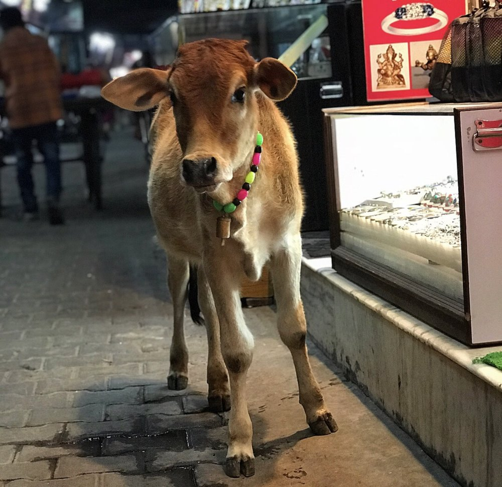 A beautiful baby cow roaming the streets of Rishikesh.