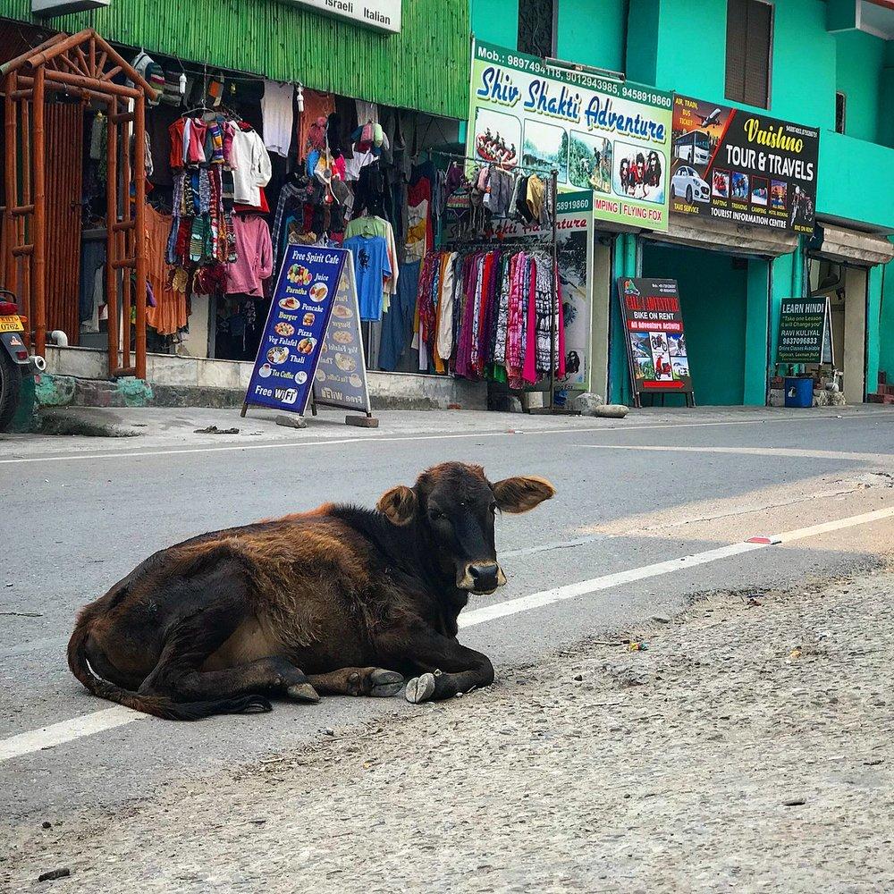 Street cows of Rishikesh.