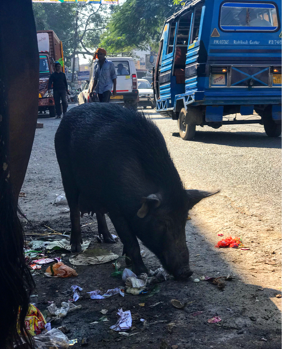 Wild pigs and cows scavenging the streets for food.