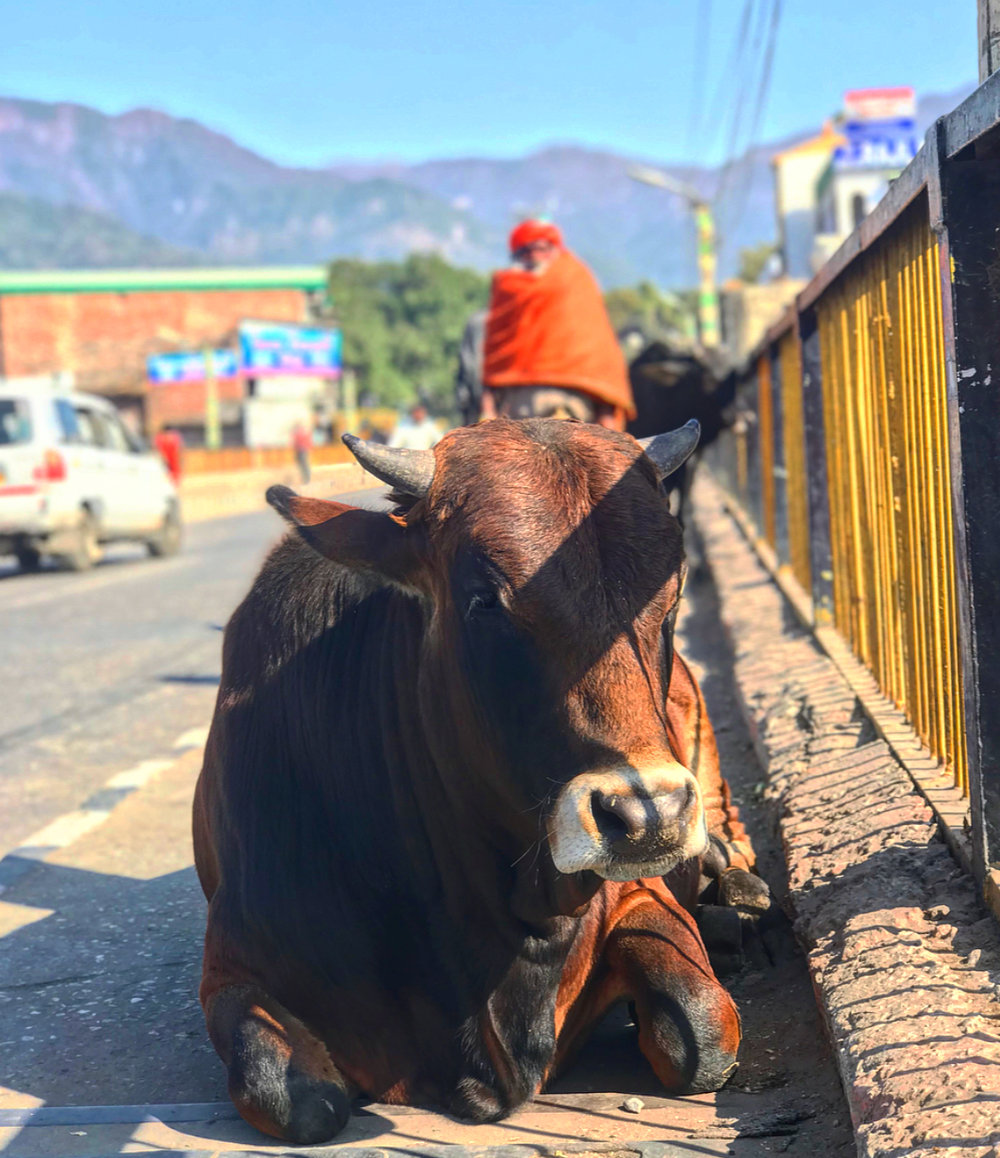 Is it really India if there aren't cows in the side walks.