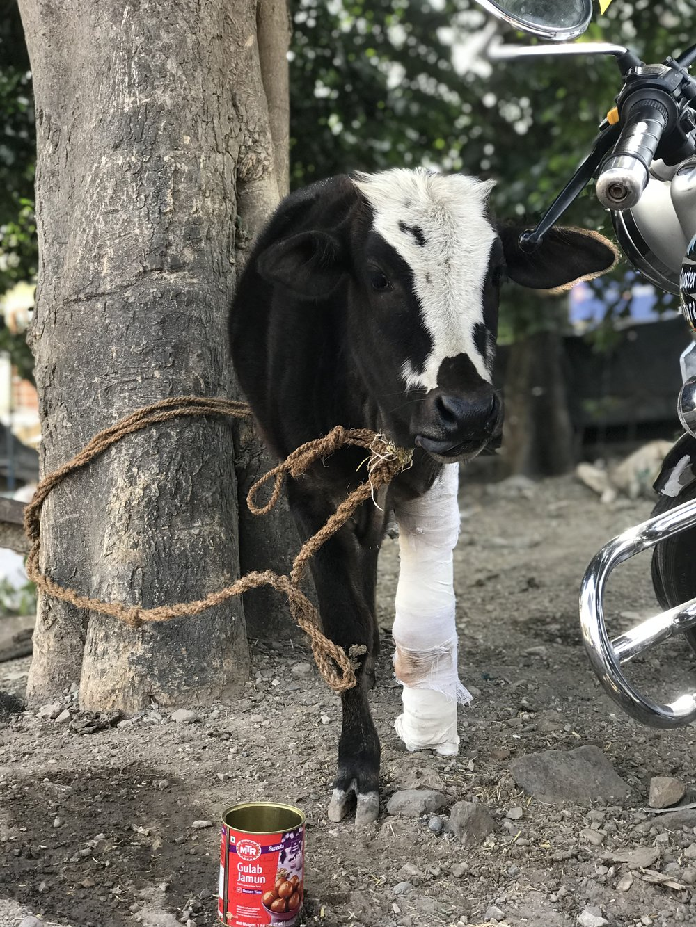 The beautiful baby calf who is tied to the tree to help his leg recover.