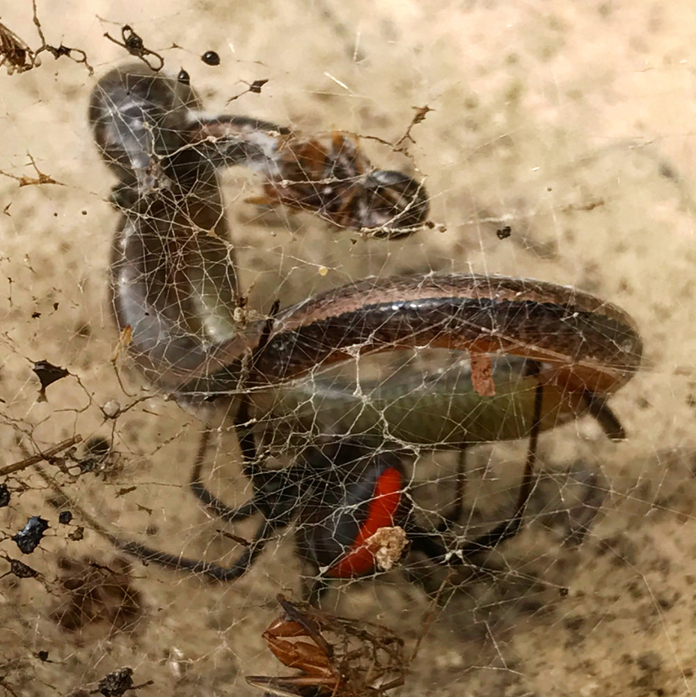Just a red back ready to eat a baby snake AT the center.