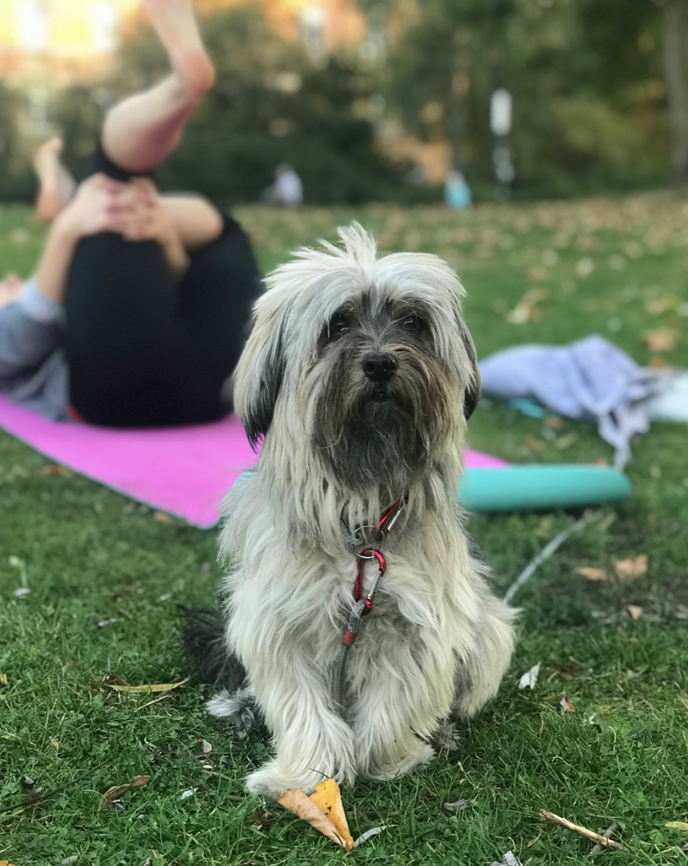 My new friend Sarah's dog Piña who is the cutest little pooch alive joining in with yoga!